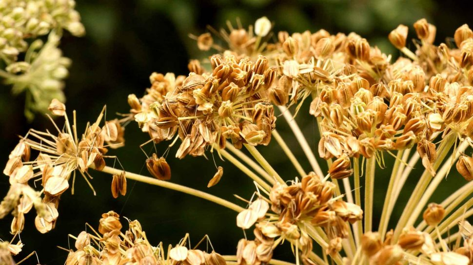 Graines d'Angelica sylvestris