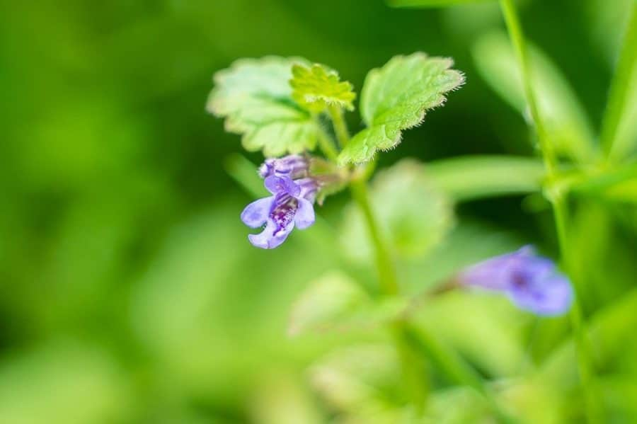 Lierre terrestre, Glechoma Hederacea. Cueilleurs Sauvages